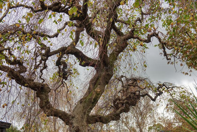 Twisted branches of a tree against a dull sky stock images