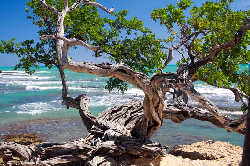 Twisted crooked tree on rocky ground in front of turquoise wild ocean with white foam of waves - Jamaica stock photo