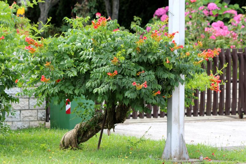 Twisted decorative tree like old Trumpet vine or Campsis radicans flowering woody vine plant with open orange to red flowers. Twisted decorative tree like old royalty free stock photo