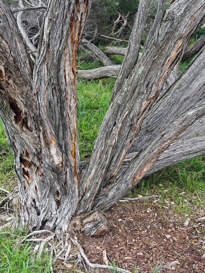 Twisted and Gnarled Australian Native Trees. Rough textured and creviced bark on twisted and gnarled Australia native tree trunks stock images