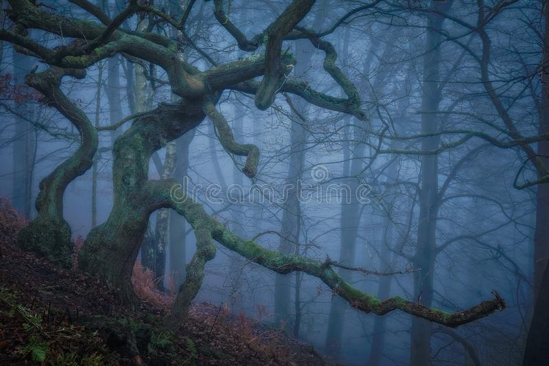 A Twisted and Gnarled oak on a hill in a foggy forest royalty free stock photography