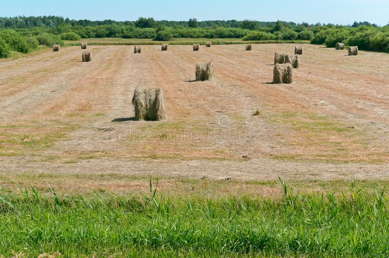 Twisted hay in the field, bundles of hay rolls on the farmland royalty free stock photos