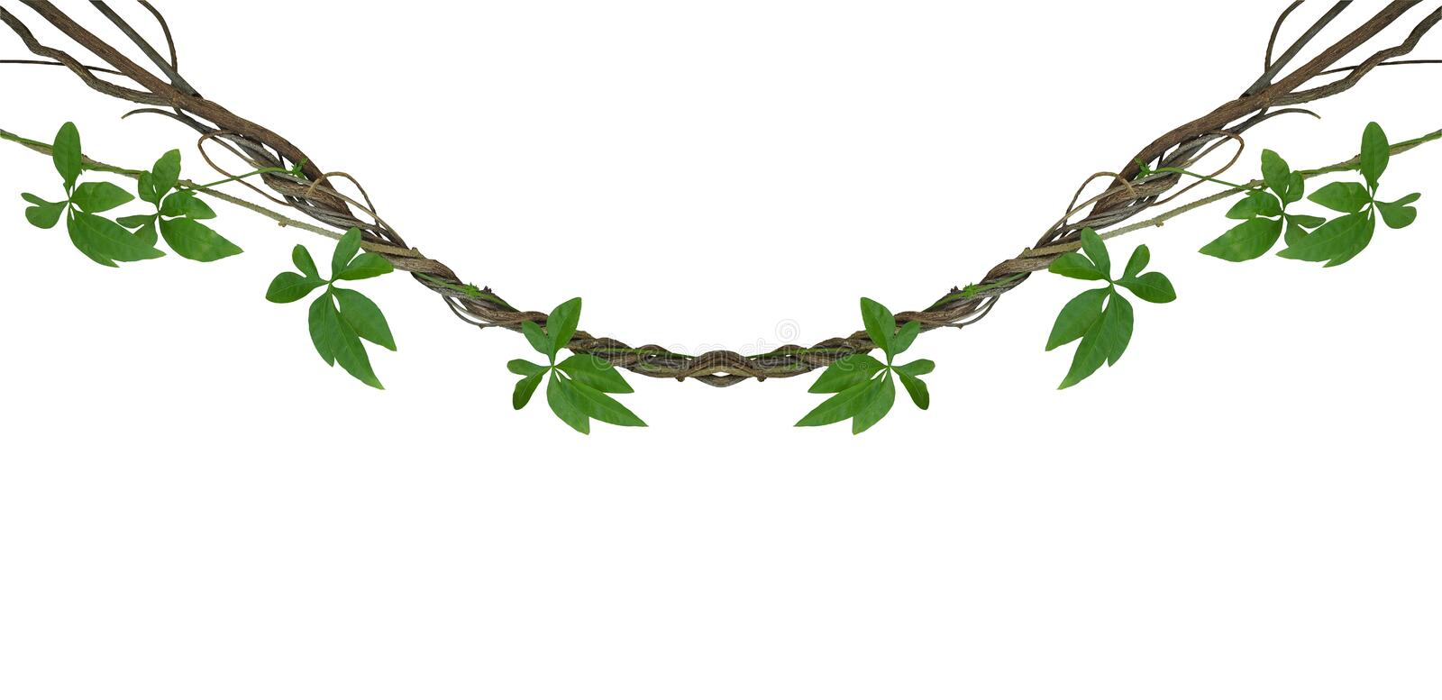 Twisted jungle vines with green leaves of wild morning glory liana plant isolated on white background, clipping path included. royalty free stock photo