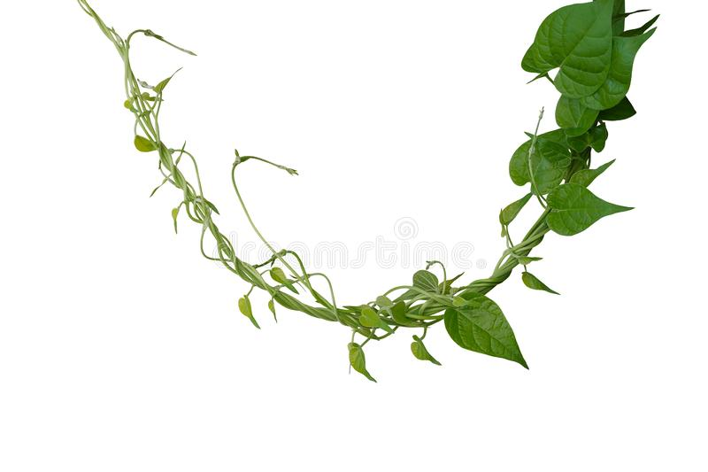 Twisted jungle vines liana plant with heart shaped green leaves isolated on white background, clipping path included stock photos