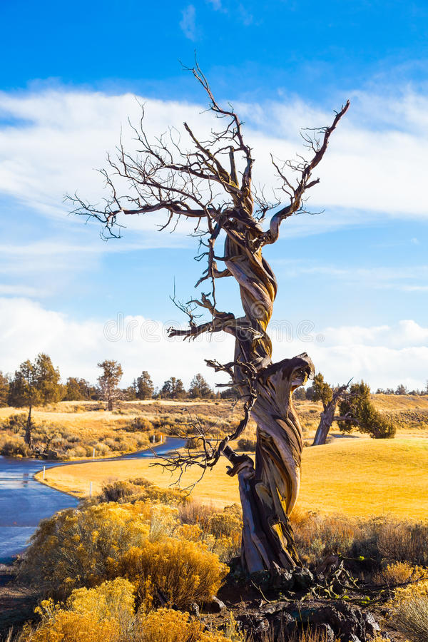 Free Twisted Juniper Tree In Winter Stock Photo - 39608020