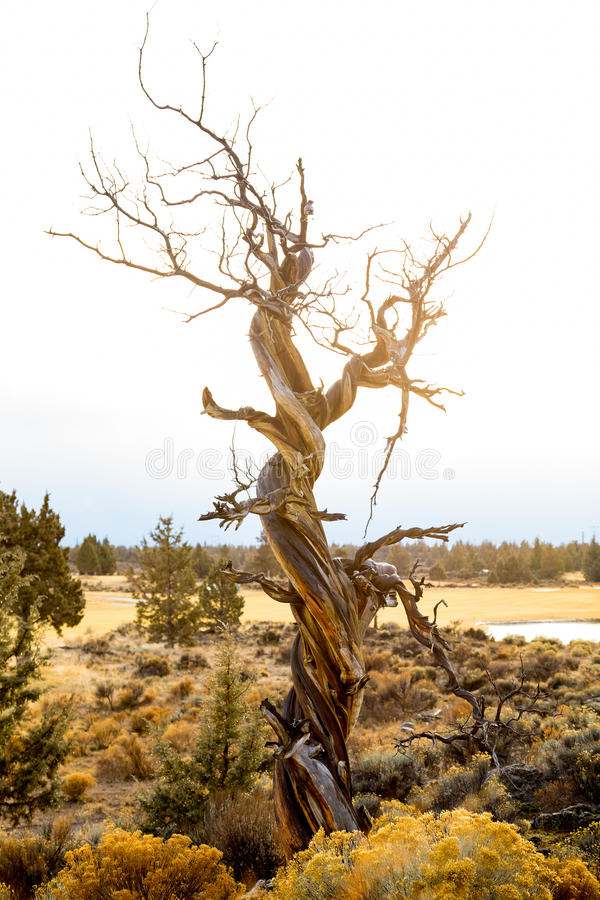 Free Twisted Juniper Tree In Winter Royalty Free Stock Photo - 39608145