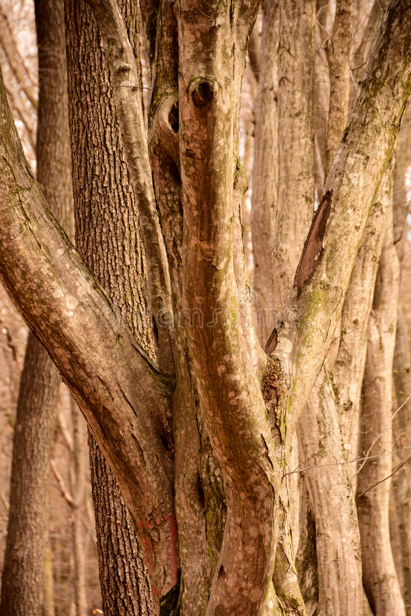 The twisted lines of the growing trees royalty free stock images