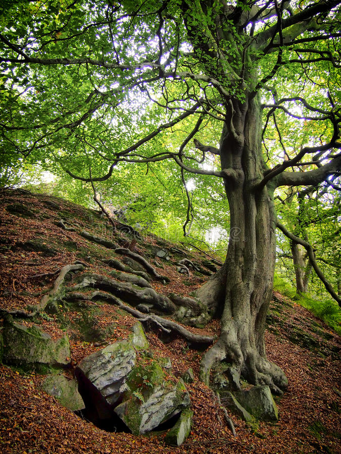 Twisted old tree on a rocky hillside royalty free stock photo