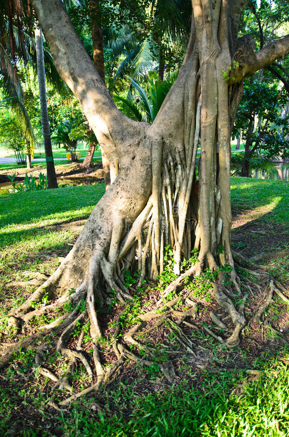 Download Twisted roots of old tree stock photo. Image of aging - 31805182