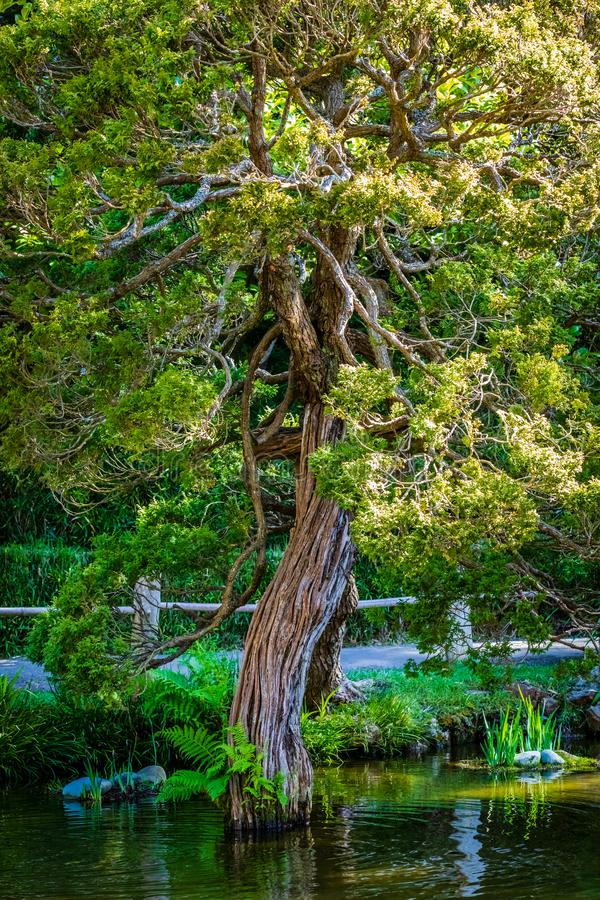 Twisted rope like tree grows out of a pond in front of a walking path. In a Japanese Garden stock photos