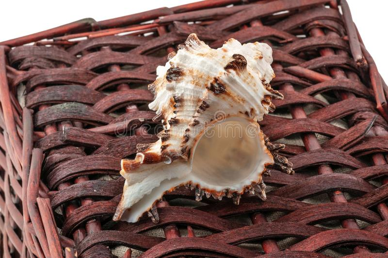 A twisted shell lies on a brown wicker basket isolated on white. royalty free stock photography