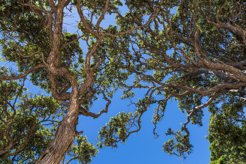 Download Twisted tree branches stock image. Image of sunny, blue - 39510329