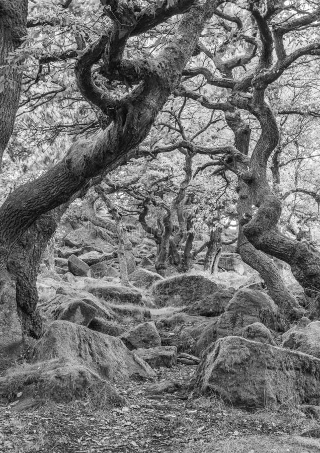 Twisted trees in the forest black and white stock photos