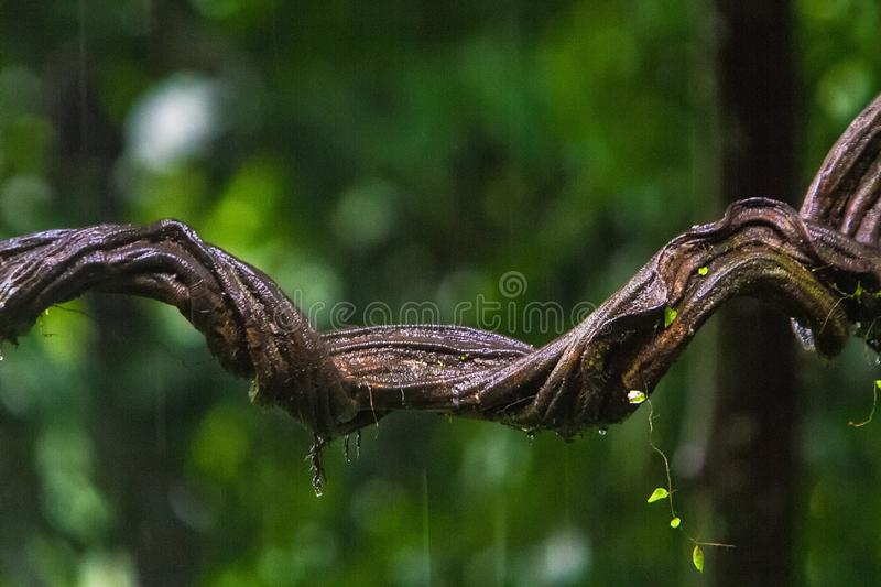Twisted vine in the rainforest royalty free stock images