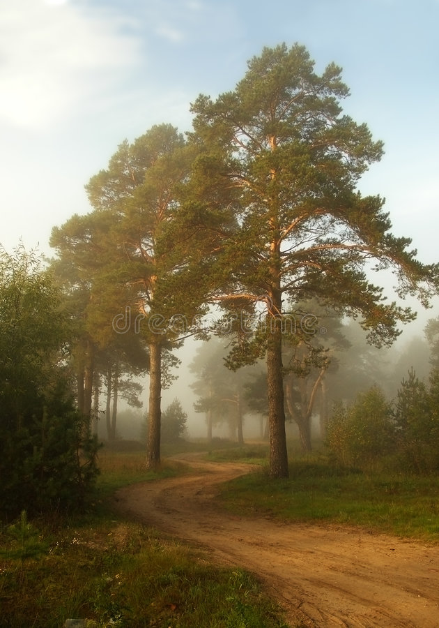 Twisting path in a fog. A coiling sandy path in a pine wood on sunrise. Distant trees are by a fog stock photos