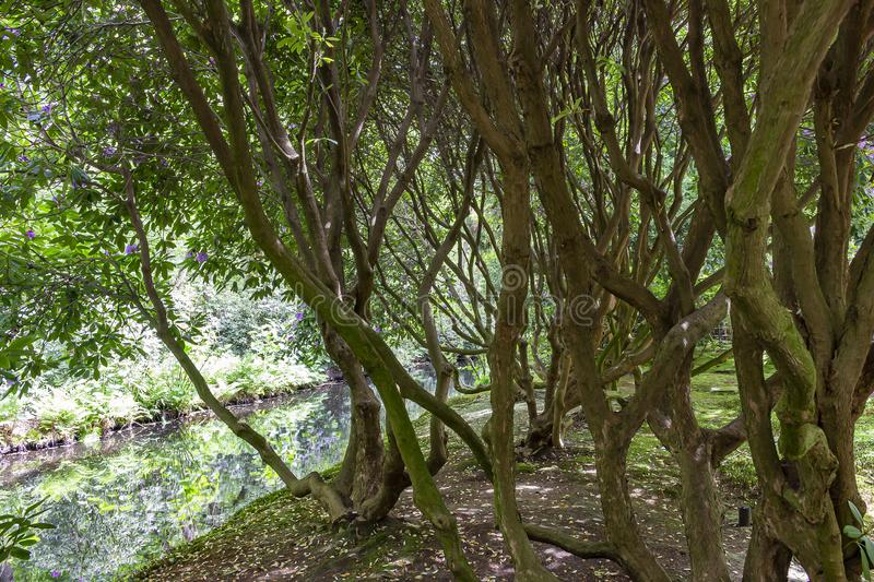 The twisting stems of the old rhododendron shrubs in the Japanese garden in park Clingendael, the Hague.  royalty free stock photos