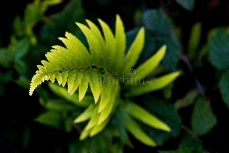 Twisty спиральный расти папоротника стоковые изображения rf