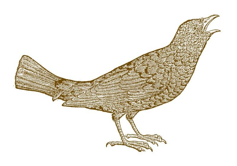 Twittering或唱歌共同的黑鹂画眉类merula在外形视图 皇族释放例证