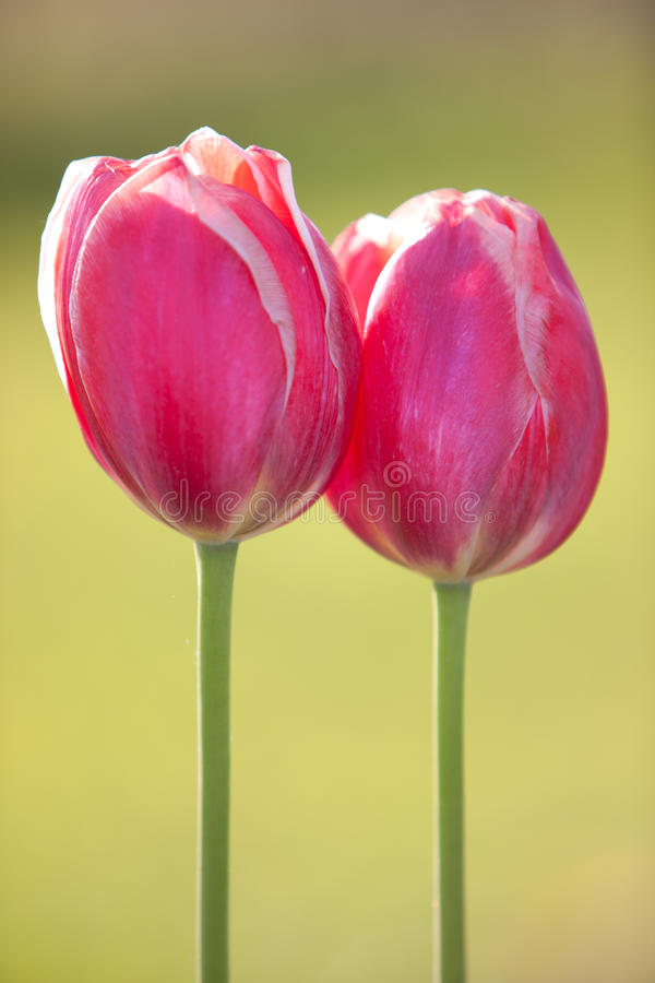 Download Two stock image. Image of blooms, objects, bright, flowers - 29124893