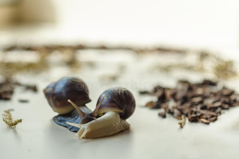 Two Achatina snails on the light background. Extreme close-up macro photography of mollusks. Anti-aging slime. Selective fokus stock images