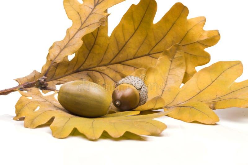 Two acorn lying on the fallen oak leaves stock image