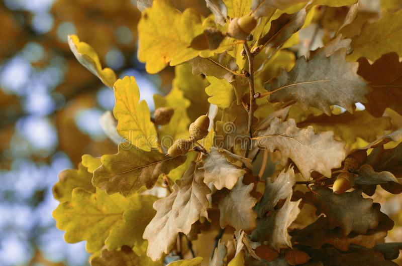 Two acorns among the lush yellow foliage in Indian summer stock photo