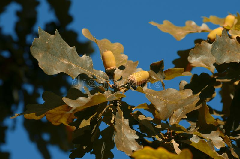 Two acorns among the yellowish foliage in Indian summer stock image