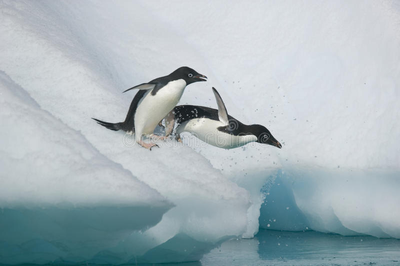 Two Adelie penguins take the plunge into the ocean from an Antarctic iceberg stock image