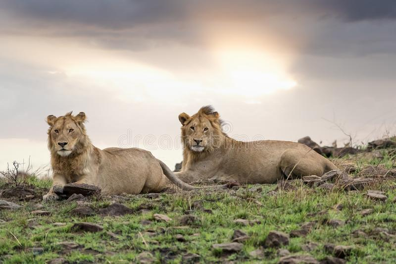 Lion brothers. Two adolescent male lion brothers at dusk in the Masai Mara, Kenya. These young males have fractured from the pride and will be nomadic until they royalty free stock photo