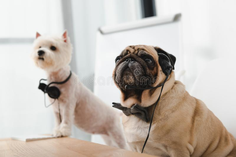 Business dogs with headsets. Two adorable business dogs with headsets sitting together at workplace royalty free stock image