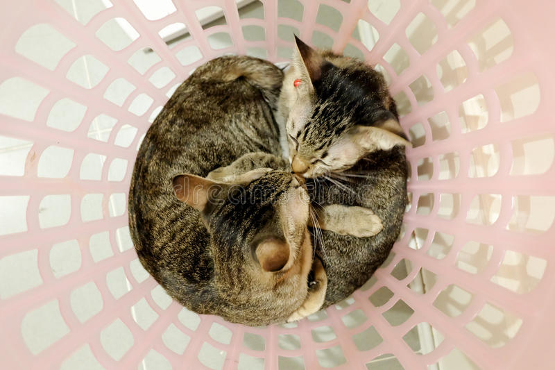 Two adorable Cats kissing cuddle in basket. Lovely Couple family friends sisters time at Home. kittens cuddle snuggle lying royalty free stock photo
