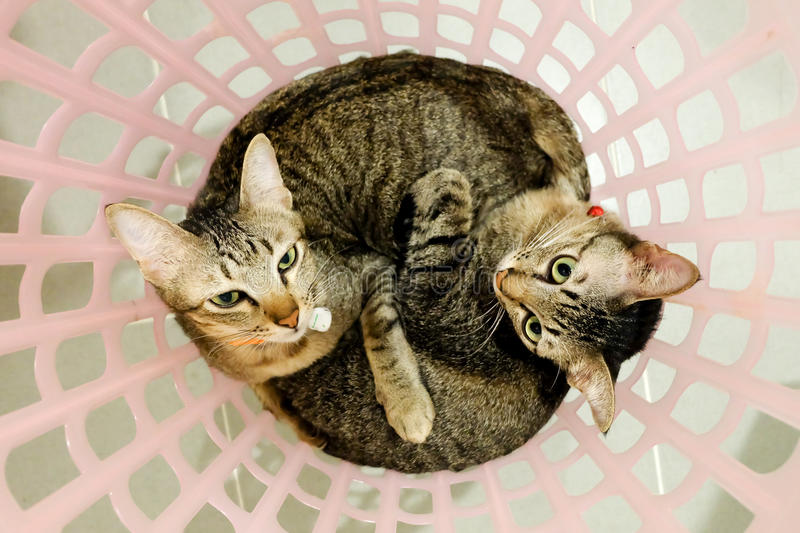 Two adorable Cats lying in basket. Lovely Couple family friends sisters time at Home. kittens cuddle snuggle together. royalty free stock photography