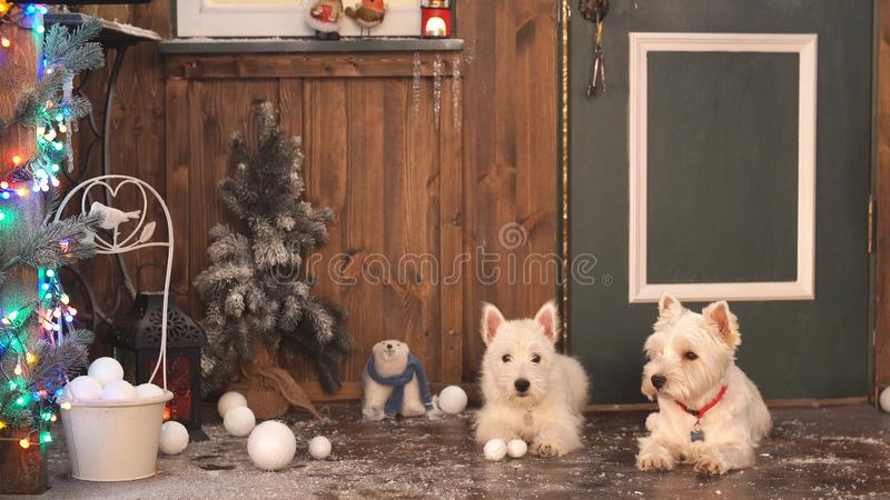 Two Adorable dogs ready to celebrate Christmas royalty free stock images