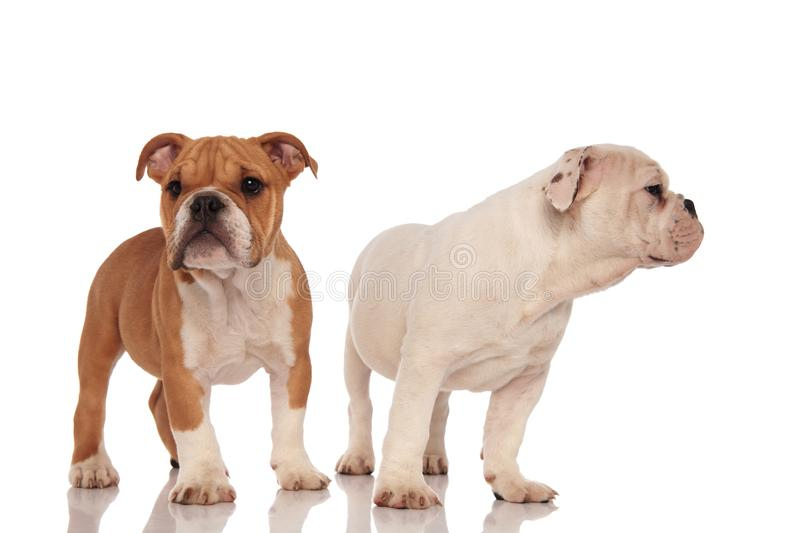 Two adorable english bulldog puppies standing together stock image