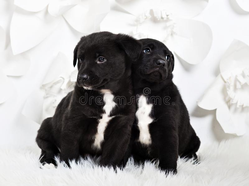 Two adorable fluffy puppies leaning to each other, white backgro. Two adorable fluffy puppies leaning to each other, white flower background stock photography