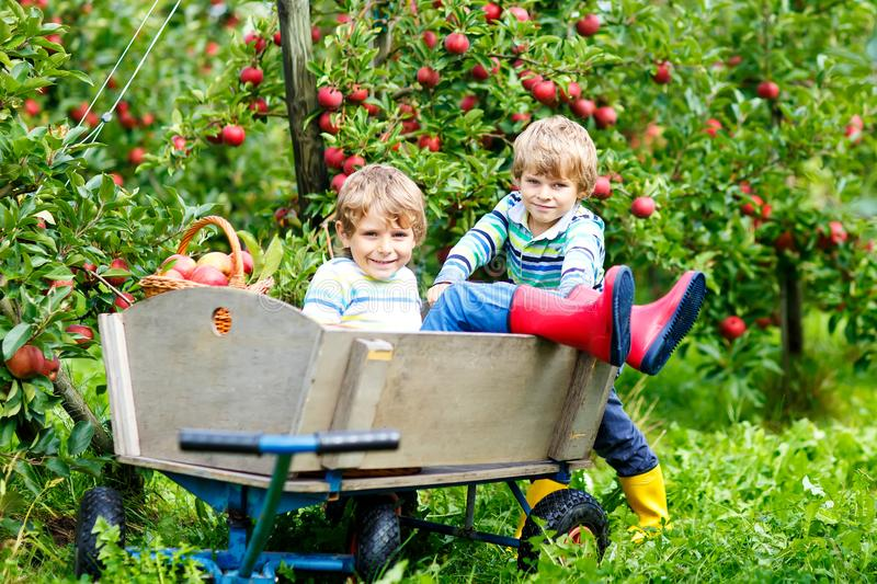 Two adorable happy little kids boys picking and eating red apples on organic farm, autumn outdoors. Funny little. Two adorable happy little kids boys picking and stock images