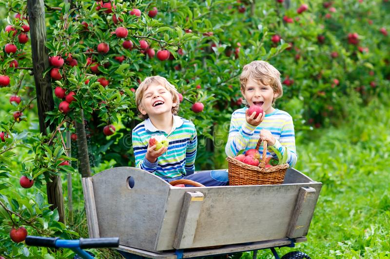 Two adorable happy little kids boys picking and eating red apples on organic farm, autumn outdoors. Funny little. Two adorable happy little kids boys picking and stock image