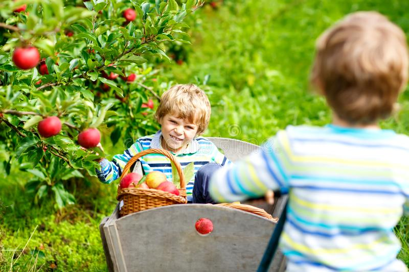 Two adorable happy little kids boys picking and eating red apples on organic farm, autumn outdoors. Funny little stock photography