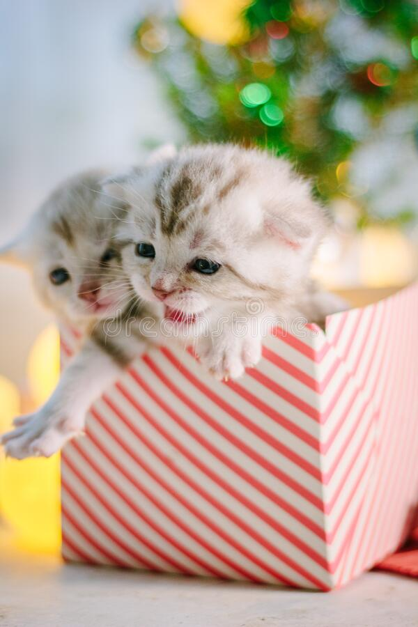Two adorable kittens in a christmas gift box royalty free stock photography