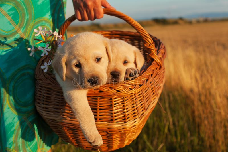 Two adorable labrador puppy dogs in a basket - woman hands carry royalty free stock photos