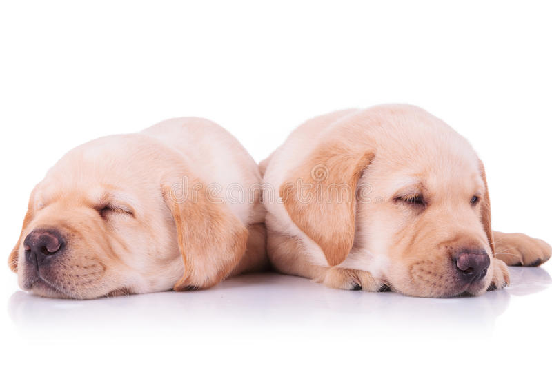 Two adorable labrador retriever puppy dogs sleeping. On a white background stock image