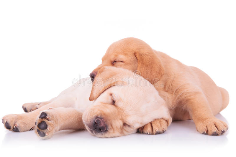 Two adorable labrador retriever puppy dogs sleeping. Two adorable labrador retriever puppy dogs brothers sleeping on on top of the other on white background stock images