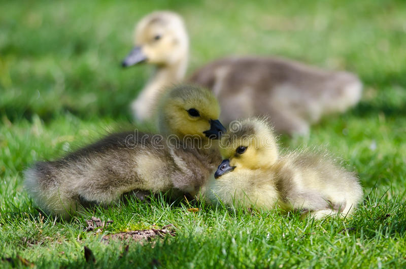 Two Adorable Little Goslings Resting in the Green Grass royalty free stock images