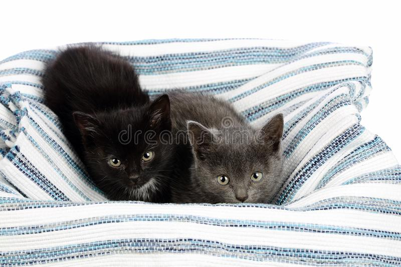 Two adorable one and a half months old kittens, grey and black with white, on a rag carpet. Studio shot of cute baby cat siblings stock photo