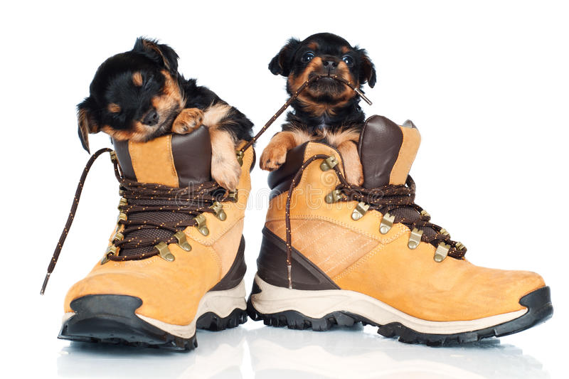 Two adorable puppies inside the boots stock photos