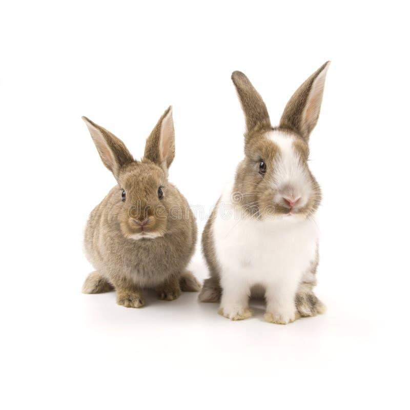 Two adorable rabbits stock photos