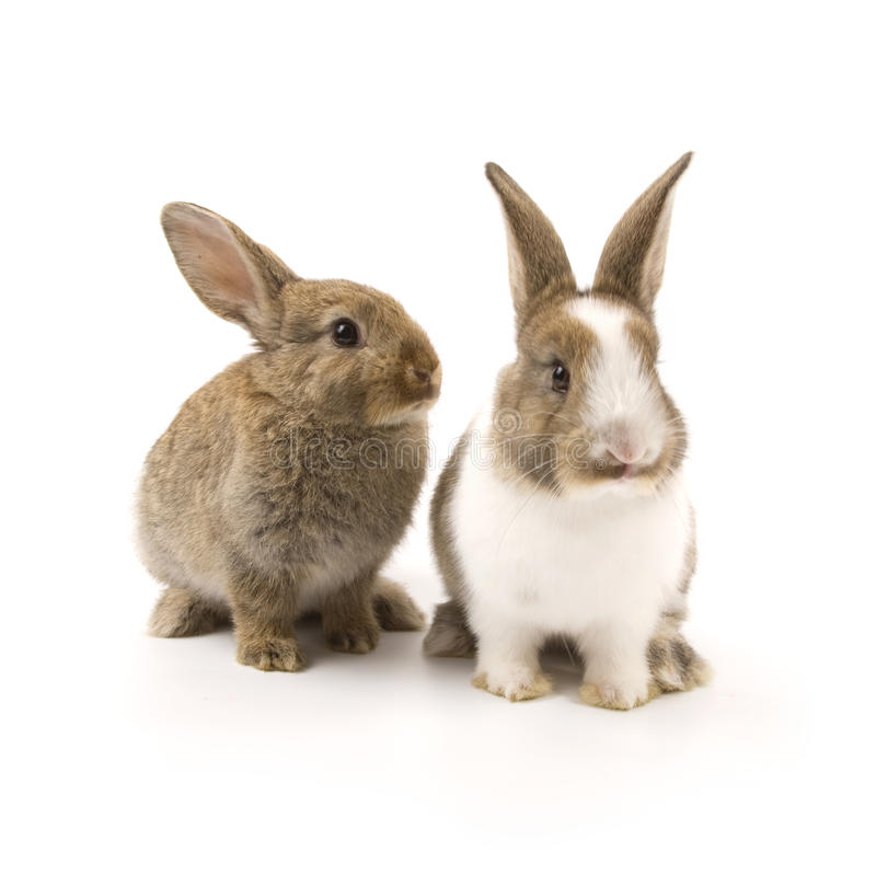 Two adorable rabbits royalty free stock image