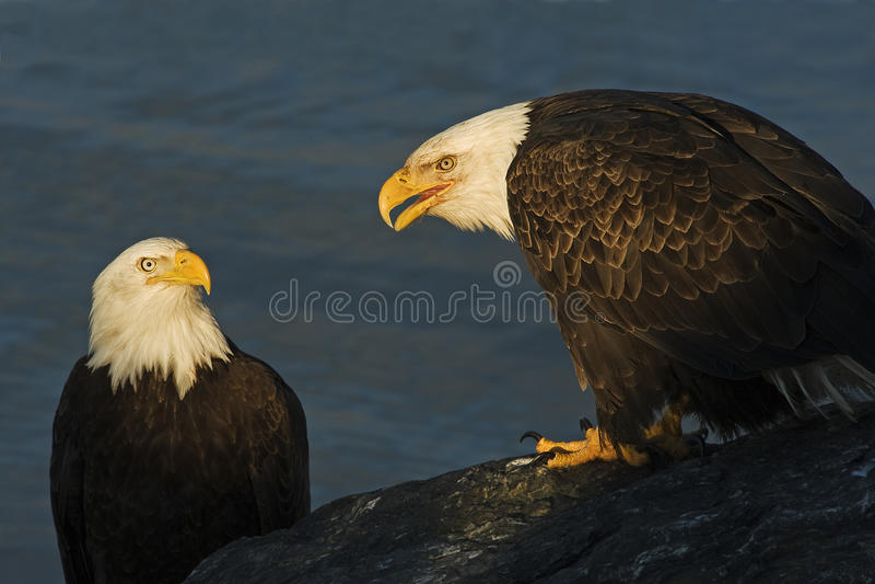 Two adult Bald Eagles Haliaeetus leucocephalus image. Two bald eagles Haliaeetus leucocephalus royalty free stock images