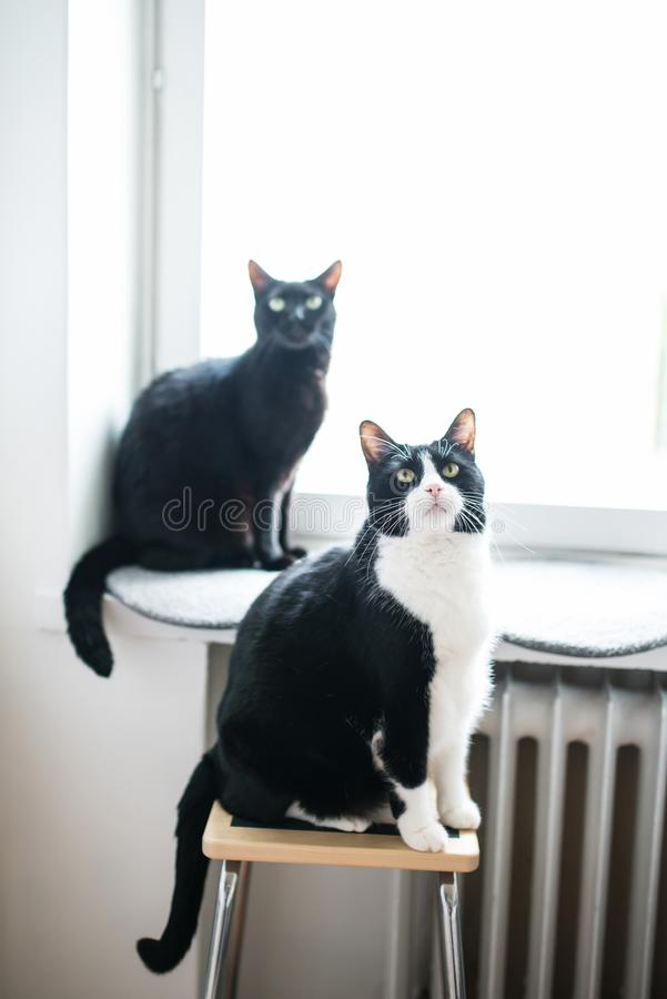 Two adult cats looking up. One is sitting on a chair, the other one is at the window stock photography