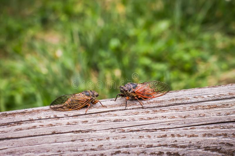 Two adult cicadas Tibicina haematodes royalty free stock photography